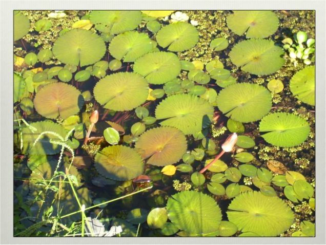 layers of aquatic vegetation. Panama 2006