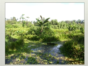 Pond splitting into two channels with associated vegetation. Panama 2006