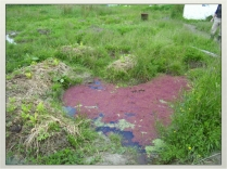 azolla pond and associated raised bed in our Ditch and mound channel system to drain water. New Zealand 2007.