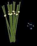 Rush Plant s