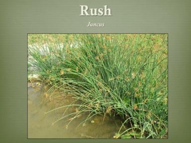 Rush Juncus