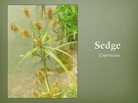 Sedge