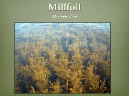 Millfoil