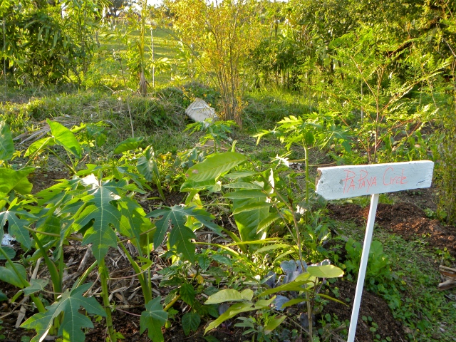 Papaya Circle from Taino Organic Farm that we installed in Dec 2012, same design just put Papaya in instead