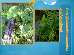 greywater plants tropics