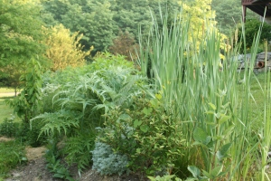 Swale in Summer at Parkwalk Permaculture- - a Jungly mass of food forest vegetation emergingCincinnati, Ohio, USA