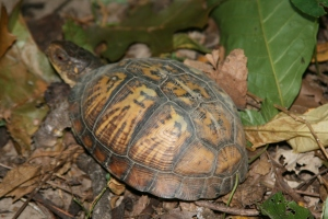 Box turtle, a tortoise of the eastern deciduous forest of North America who carries its house around. Geometrically patterned to blend with nature and uses lasting materials for protection and survival