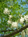 Black Locust as an example of a tree to introduce first