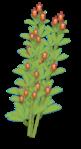 crotolaria section bush