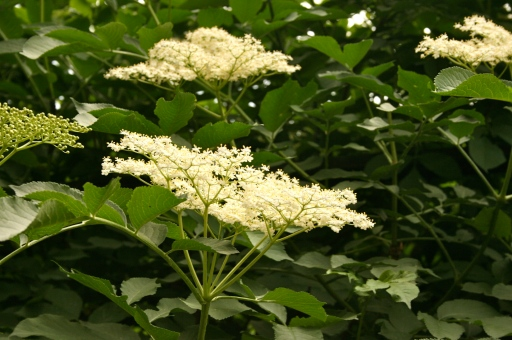 Elderberry in flower