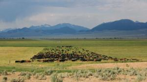 rangleland mob grazing: from: http://beefmagazine.com/pasture-range/ranchers-sing-praises-mob-grazing-cattle
