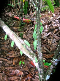 Emerging Cacao Fruits in Costa Rica Forest Garden/ pond system