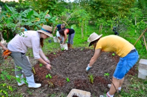 Papaya circle planting, Dominican Republic, 2012