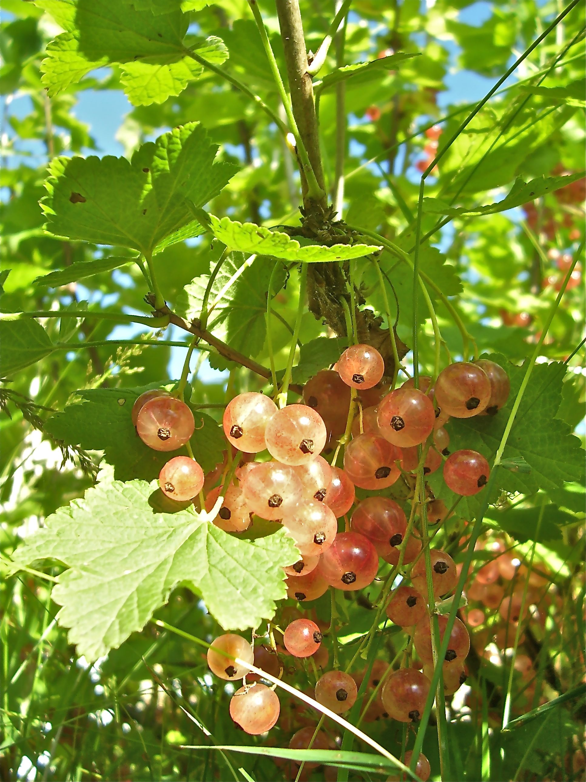 White Currant A Permaculture Design Course Handbook