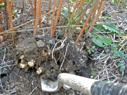 Jerusalem artichokes stalks and tuber being harvested in the fall