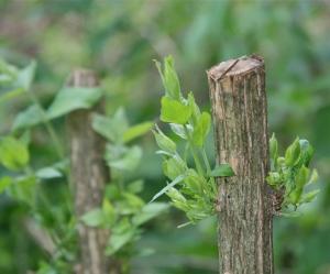 coppice honeysuckle regrowing
