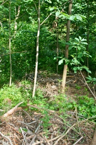 paw paws mulched from invasive clearing and tree harvesting