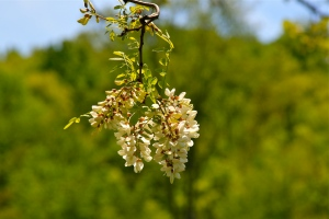 Black Locust in flower feeding the pollinators