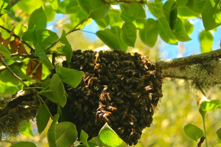 The swarm protecting the queen- colony division before they start building a new honeycomb