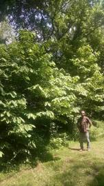 author and a cultivated wild paw paw patch on forest edge of a campsite of his families land in Kentucky, USA