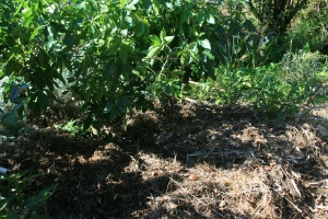 White Sapote and layers of green and brown mulch, staying ahead of the drip line