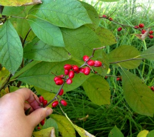 Spicebush with its spice berries