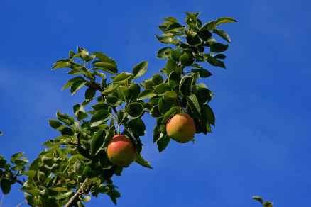 Terra Alta Pears