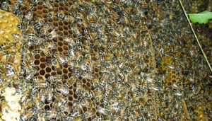 African Honey Bee Comb