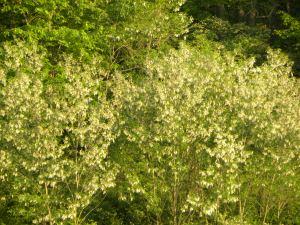 black locust grove flowering at treasure lake