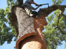 Cork Harvesting
