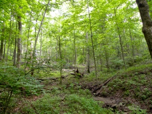 Over crowding of forest with Red Maple at Treasure Lake