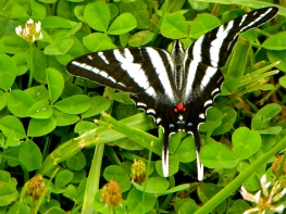 Zebra Swallowtail near one of our wild paw paw patched at treasure lake, KY,USA