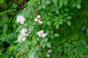 multiflora rose in flower at treasure lake