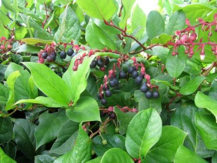 salal in fruit