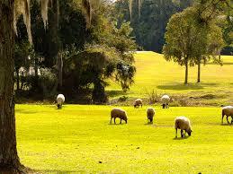 Sheep grazing in Curitiba Park