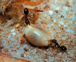 ants carrying seed to underground for mycelium growth