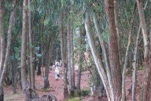Eucalyptus coppice