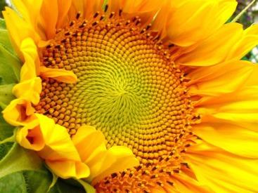 sunflower_seeds