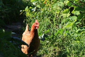 free range chicken at Terra Alta, supporting the food forest land regeneration