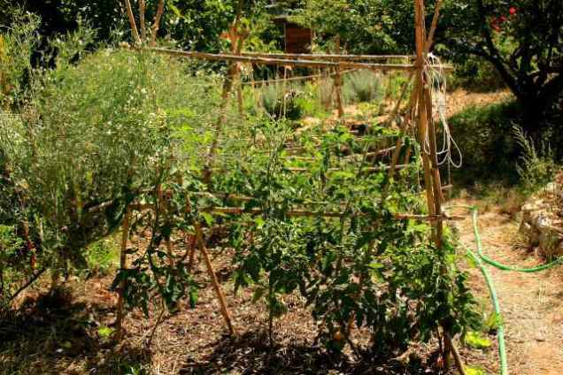 Sunken bed with tomato crop, Summer 2015