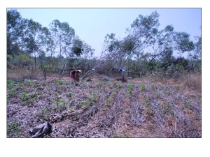 Mulched pathways on left of cassava in India, Sadhana Forest, 2009.