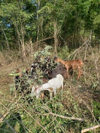 Goats munching cut and carry, Treasure Lake, KY